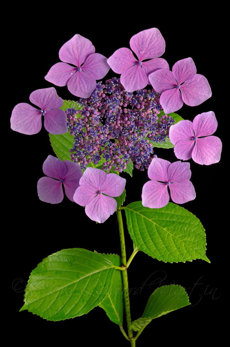 Hydrangea against Black Background
