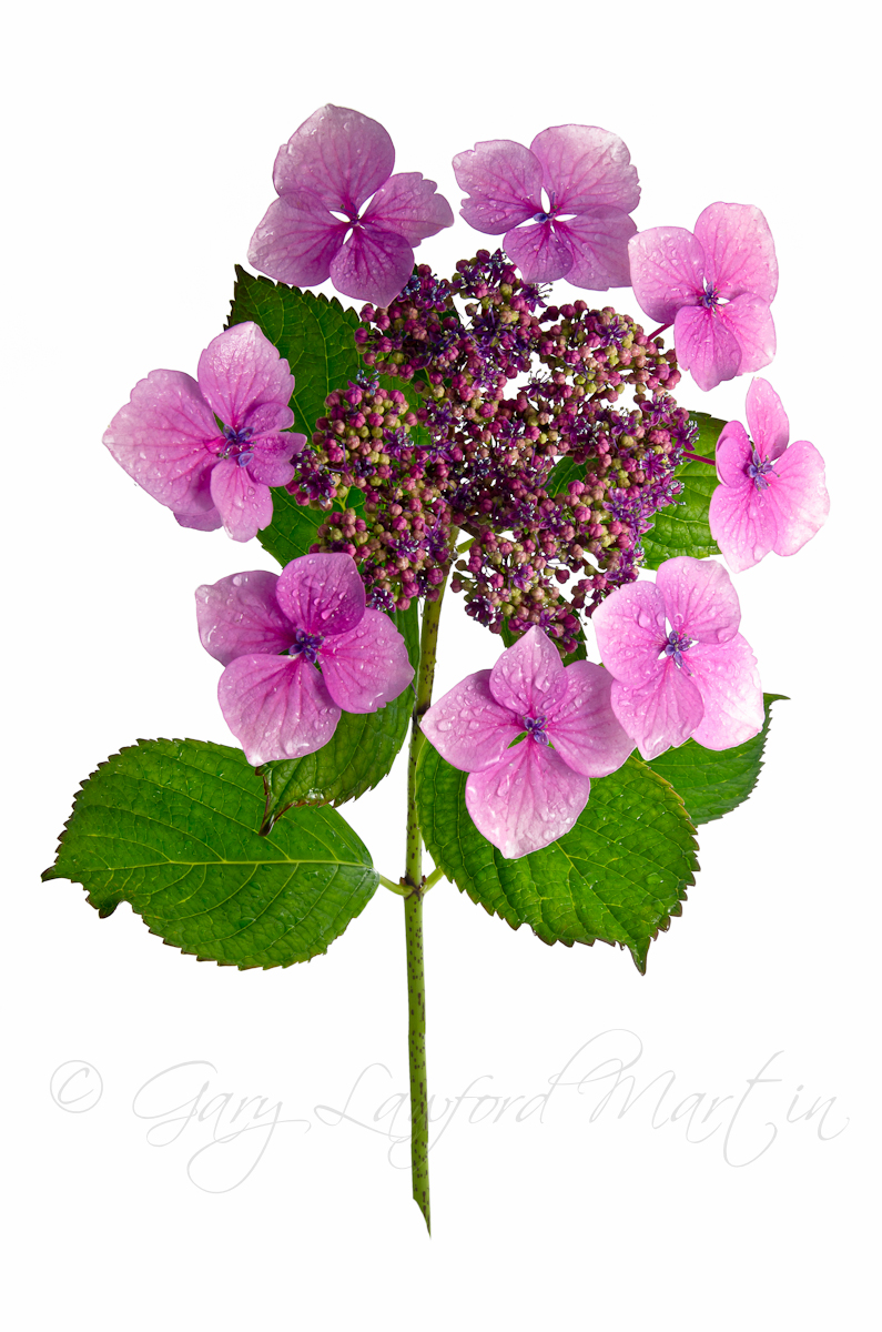 Hydrangea against White Background 2