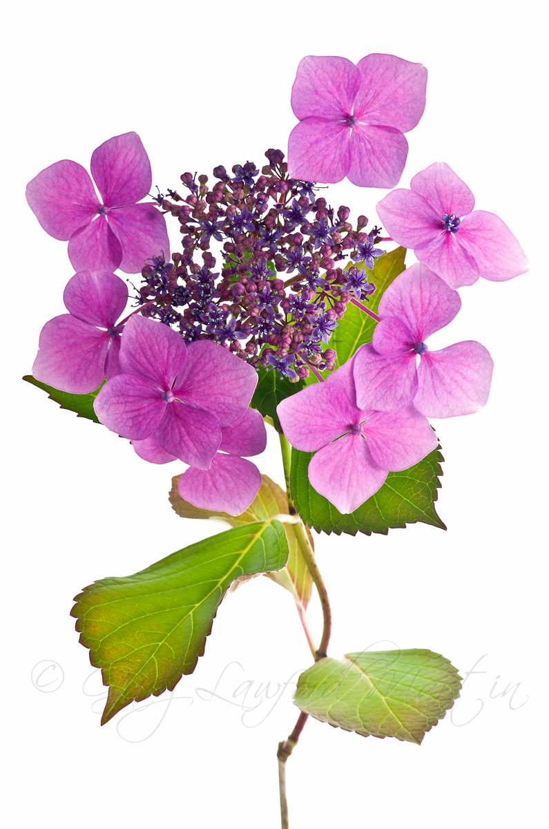 Small Hydrangea on White Background