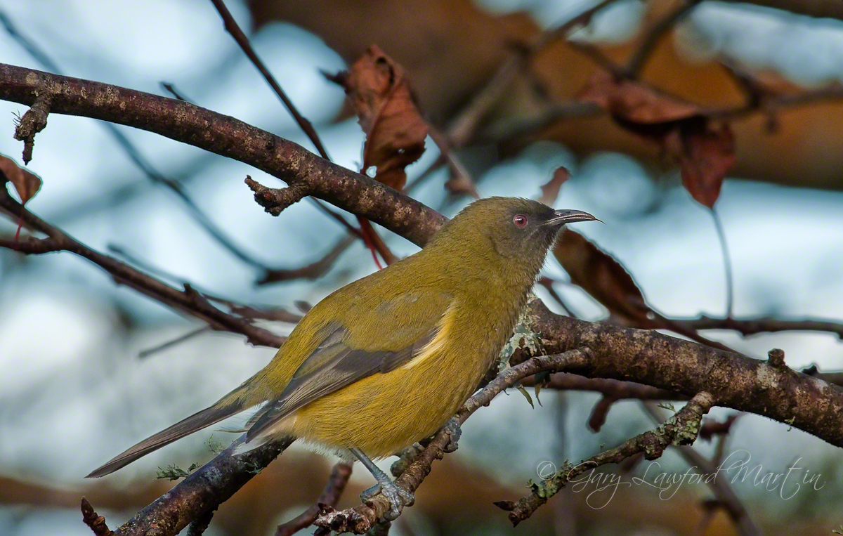 Male Bellbird
