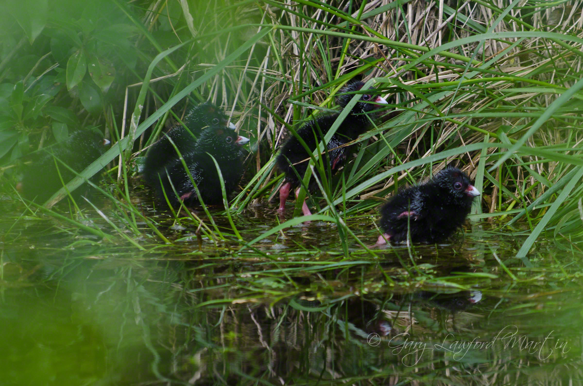 Pukeko chicks