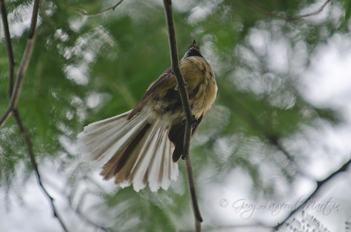 Fantail overhead