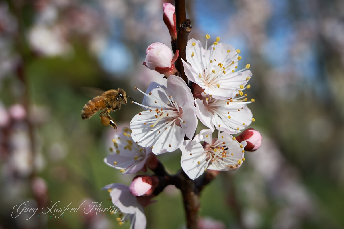 Honey Bee-Apricot Blossom