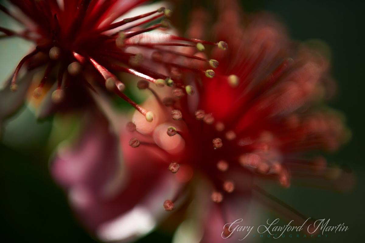 Feijoa Blossoms