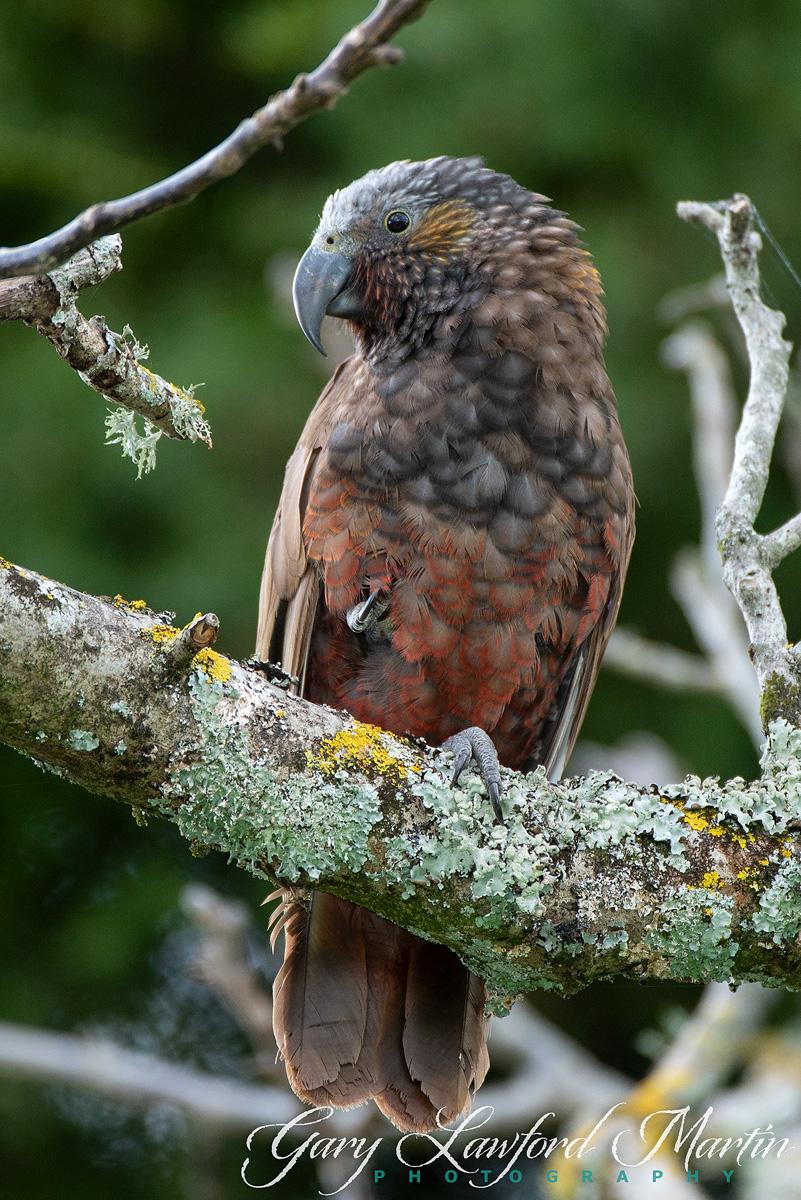 New Zealand Native Kaka