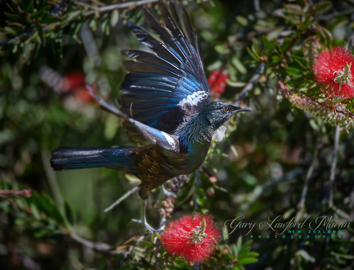New Zealand Native TUI