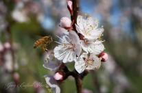 Honey Bee-Apricot Blossom