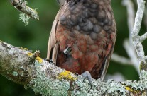 New Zealand Native Kaka