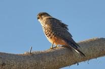 New Zealand Native Falcon